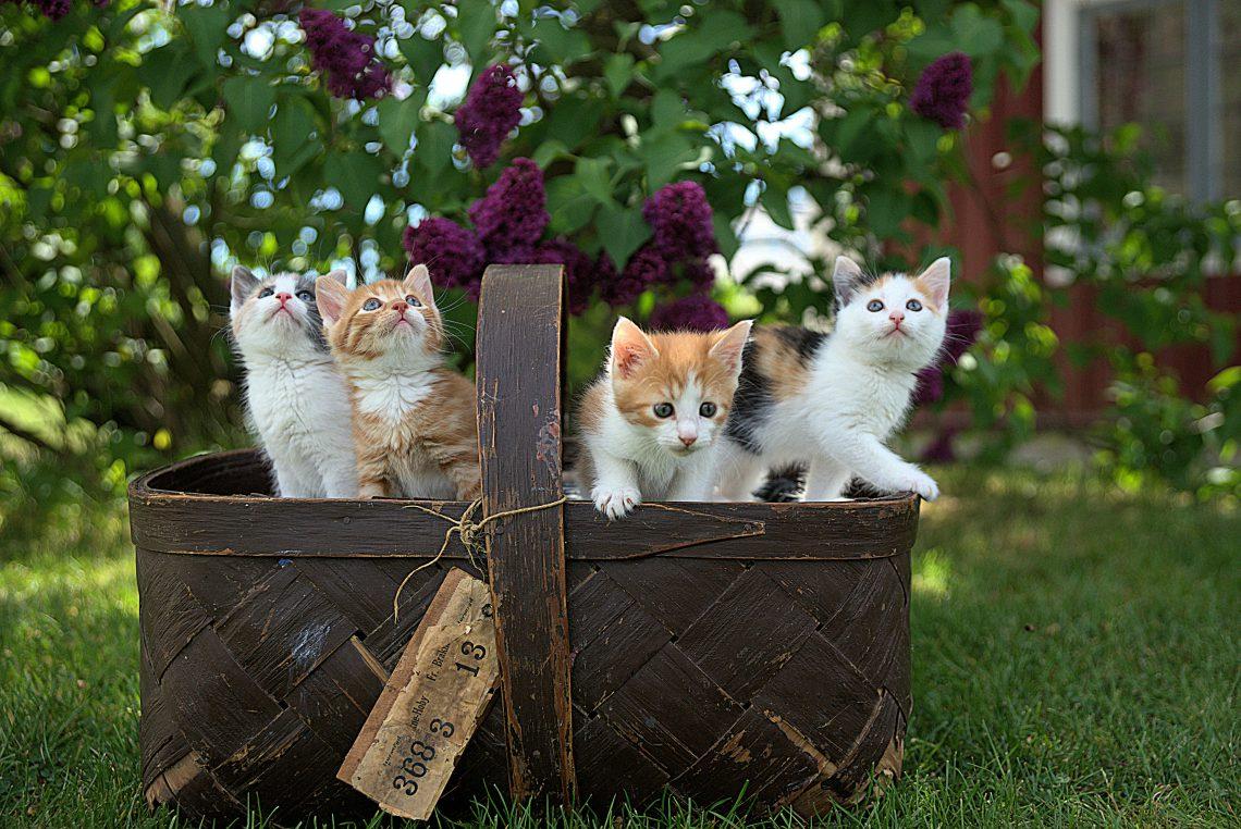 Allergisch zijn voor kattenrassen